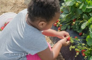 Olivia picking strawberries