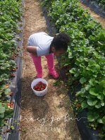 olivia's picking strawberries